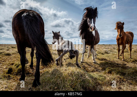 Newborn foal taking his first steps, Iceland Iceland pure-bred horse. - Stock Photo