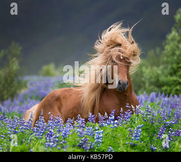 Horse running by lupines, Purebred Icelandic horse in the summertime with blooming lupines, Iceland - Stock Photo