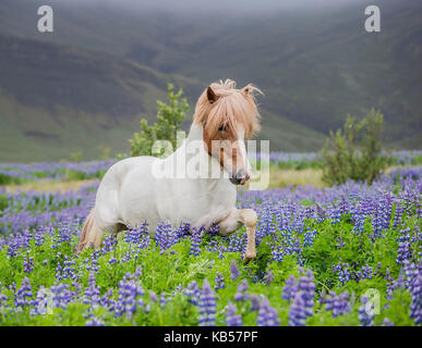 Icelandic Horse running in Lupine fields, Purebred Icelandic horse in the summertime with blooming lupines, Iceland, - Stock Photo