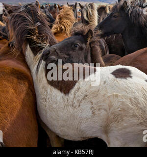 Annual Horse Round Up-Laufskalarett, Skagafjordur, Iceland Farmers keep up a long tradition of letting their horses - Stock Photo