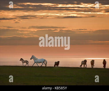 Icelandic Horses Midnight Sun, Iceland - Stock Photo