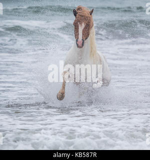 Icelandic horse in the sea, Longufjorur Beach, Snaefellsnes Peninsula, Iceland - Stock Photo