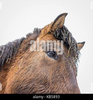 Icelandic Horse in a snowstorm, Iceland - Stock Photo