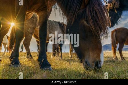 Icelandic Horses Grazing, Iceland - Stock Photo