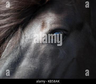 Icelandic Black Stallion, Iceland - Stock Photo