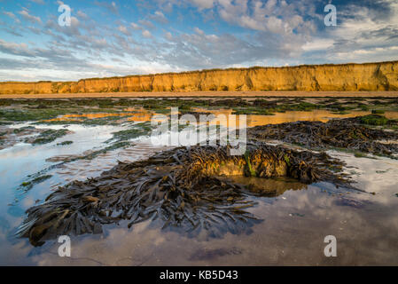 Toothed wrack (Fucus serratus) fronds, exposed on beach at low tide, Reculver, Kent, England, United Kingdom, Europe - Stock Photo