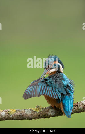 Female common kingfisher (Eurasian kingfisher) (Alcedo atthis) preening wings in West Yorkshire, England, United - Stock Photo
