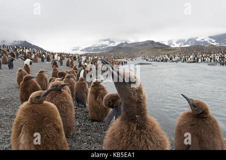 King Penguin Aptenodytes patagonicus St Andrews Bay South Georgia January - Stock Photo