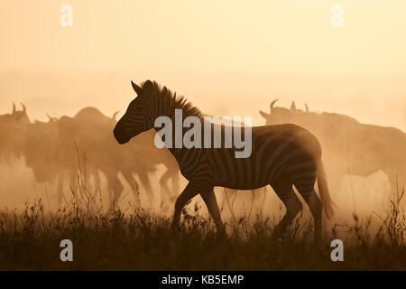 The Migration, Common Zebra (Equus burchelli) and Blue Wildebeest (Connochaetes taurinus), Serengeti National Park, - Stock Photo