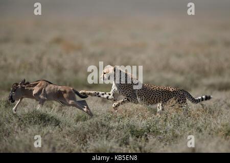 Cheetah (Acinonyx jubatus) taking down a baby blue wildebeest (Connochaetes taurinus), Ngorongoro Conservation Area, - Stock Photo