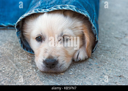 golden retriever dog puppy in denim laying on the ground, selective focus - Stock Photo