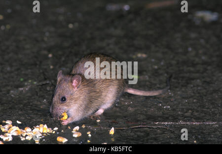 Brown rat, Rattus norvegicus. Eating corn. In the United Kingdom, brown rats are an important reservoir for Coxiella - Stock Photo