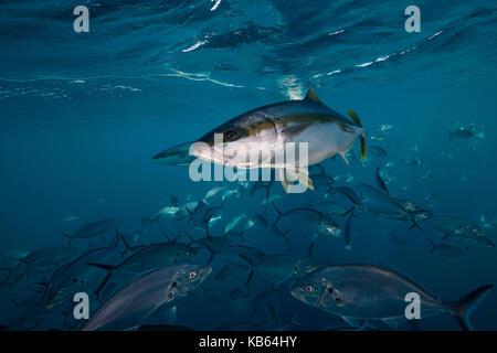 King fish swimming in a school of jackfish,Neptune Islands, South Australia. - Stock Photo
