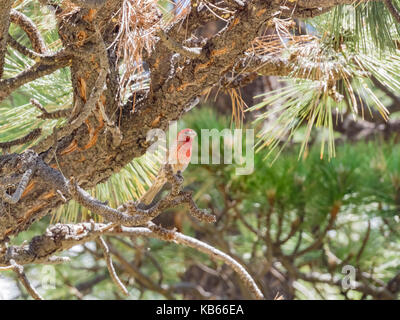 Beautiful male House Finch sitting on a tree - Stock Photo