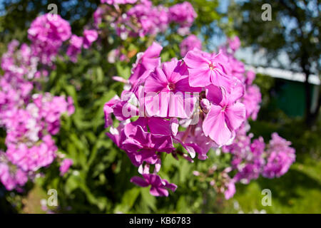 Pink phlox flowers growing in garden. Scientific name: Phlox paniculata. - Stock Photo