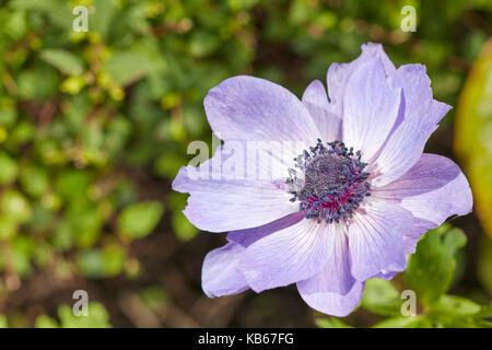 Poppy anemone flower. Scientific name: Anemone coronaria. - Stock Photo