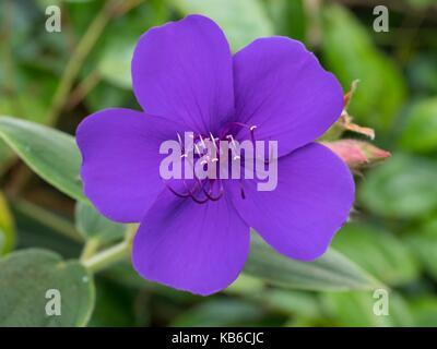 Tibouchina urvilleana, glory bush - Stock Photo