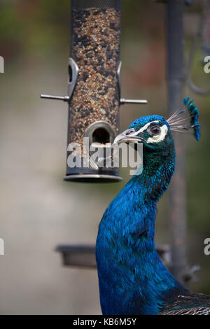 Peacock male peacock peafowl at a bird feeder, Northumberland, England - Stock Photo