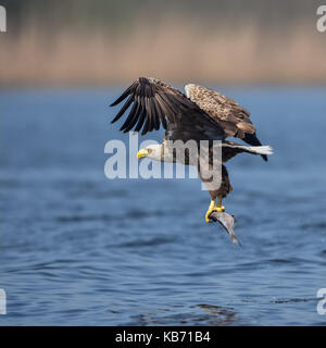 White-tailed Eagle (Haliaeetus albicilla) in flight after catching a fish, Poland, Stepnica, Oderdelta - Stock Photo