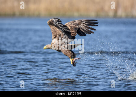 White-tailed Eagle (Haliaeetus albicilla) in flight one second after catching a fish, Poland, Oderdelta - Stock Photo