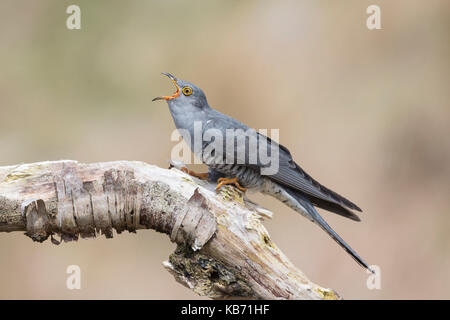 Common Cuckoo (Cuculus canorus) feeding on a dead tree, Scotland, Dumfries and Galloway - Stock Photo