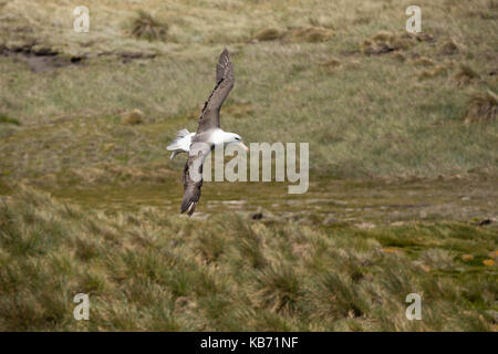 Black-browed Albatross (Thalassarche melanophris) in flight over Tussac grass (Poa flabellata), Falkland islands, - Stock Photo