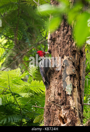 Male Pale-billed Woodpecker (Campephilus guatemalensis) picking a larva from a hole in a rotten tree in the forest, - Stock Photo
