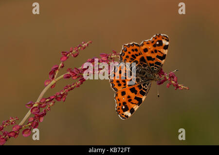 Map Butterfly (Araschnia levana) sitting in the sun on a Unidentified Dock (Rumex sp), the Netherlands, Overijssel, - Stock Photo