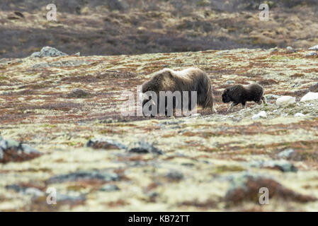 Muskox (Ovibos moschatus) with calf following in typical lichen landscape of Dovrefjell, Norway, Oppland, Dovrefjell - Stock Photo