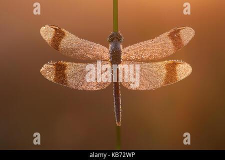 Banded Darter (Sympetrum pedemontanum) waiting for the sun, the Netherlands, Overijssel, Gramsbergen - Stock Photo
