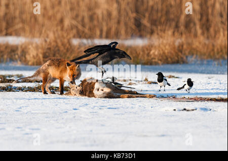 Common Raven (Corvus corax) feeding on dead Roe Deer (Capreolus capreolus) together with a Red Fox (Vulpes vulpes) - Stock Photo