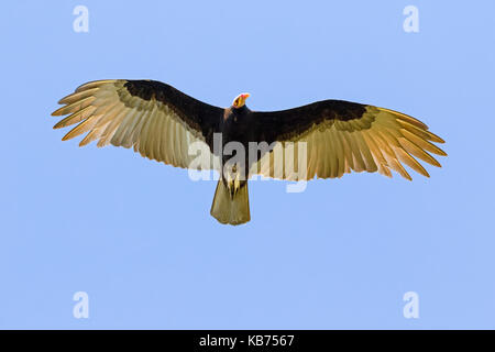 Lesser Yellow-headed Vulture (Cathartes burrovianus) in flight against blue sky, Brazil, Mato Grosso, Pantanal - Stock Photo