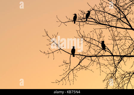 Great Cormorant (Phalacrocorax carbo) adults in a tree silhouette, The Netherlands, Utrecht, Utrechtse Heuvelrug - Stock Photo