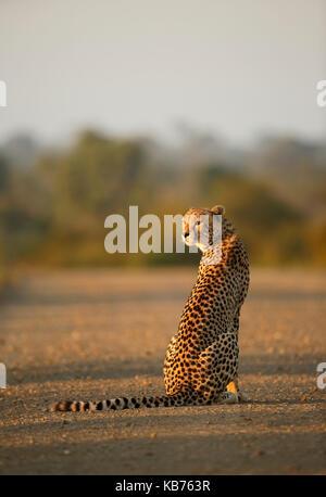 Cheetah (Acinonyx jubatus) adult sitting on a gravel road, South Africa, Mpumalanga, Kruger National Park - Stock Photo