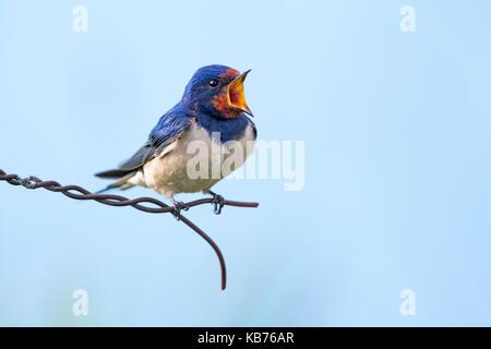 Barn Swallow (Hirundo rustica) perched on wire and singing, The Netherlands, Flevoland, Dronten, Roggebotzand - Stock Photo