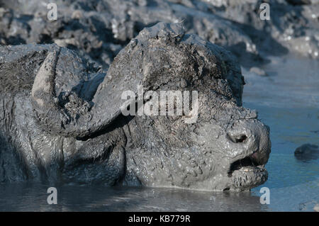 African buffalo (Syncerus caffer) wallowing in a mud pool, South Africa, Mpumalanga, Timbavati nature reserve - Stock Photo