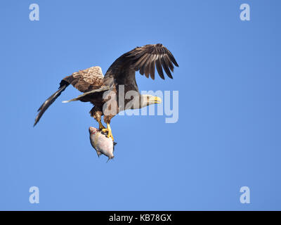 White-tailed Eagle (Haliaeetus albicilla) in flight after catching a fish, looking at camera, Poland, Oder - Stock Photo