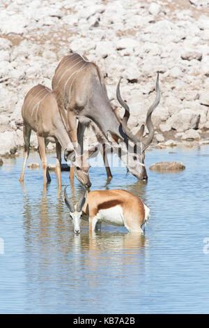 Male and female Greater Kudu (Tragelaphus strepsiceros) and Springbok (Antidorcas marsupialis) drinking at waterhole - Stock Photo