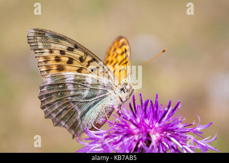 A Silver-washed fritillary (Argynnis paphia) feeding on the flower of a Greater Knapweed (Centaurea scabiosa), Belgium, - Stock Photo