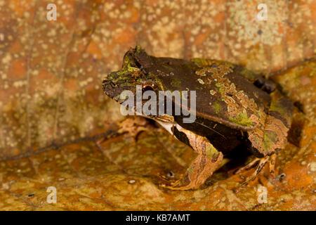 Perez's Snouted Frog (Edalorhina perezi) camouflaged on a leaf, Ecuador, San Jose de Payamino - Stock Photo