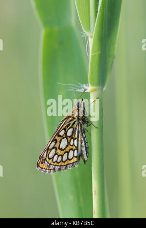 Large Chequered Skipper (Heteropterus morpheus) resting on a blade of grass, The Netherlands, Weerterbos - Stock Photo