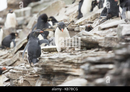Western Rock Hopper Penguins (Eudyptes chrysocome) on cliff path in storm returning to colony after fishing trip, - Stock Photo