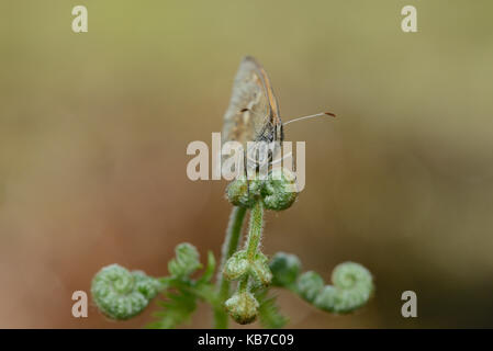Large Heath (Coenonympha tullia ssp. polydama) resting on bracken, England, Lincolnshire, Crowle Moor - Stock Photo