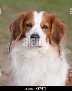 The KOOIKERHONDJE 2017 is a Spaniel type of dog of Dutch ancestry - Stock Photo