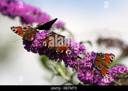Four European Peacock's on a Buddleja davidii - Stock Photo