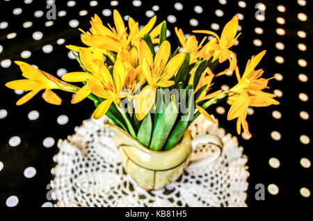 First spring yellow crocus ata small jugonblack background at white polka dots - Stock Photo