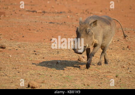 Wharthog walking towards a waterhole - Pilanesberg National Park - South Africa - Stock Photo