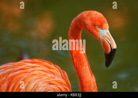 Flamingo portrait showing beak head neck and part of body with blurred background - Stock Photo
