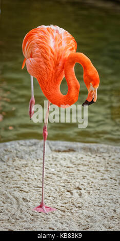 Flamingo portrait showing the whole bird with blurred background - Stock Photo
