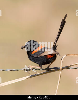 Male Red-Backed Fairy Wren in breeding plumage found across Australia. - Stock Photo